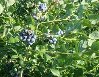 blueberries on the bushes at Blueberry Meadows